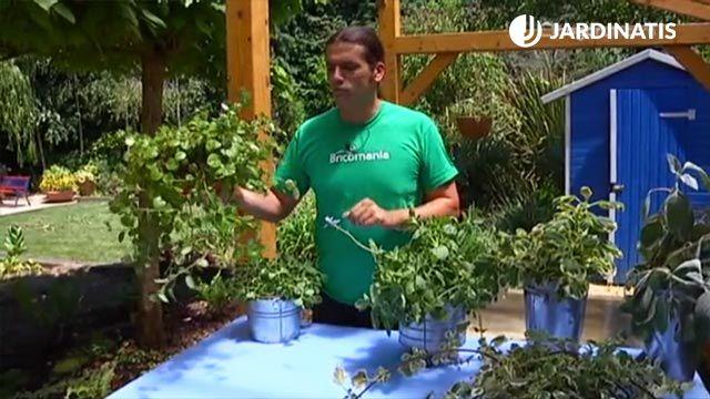 Cómo cuidar la planta del dinero o plectranthus
