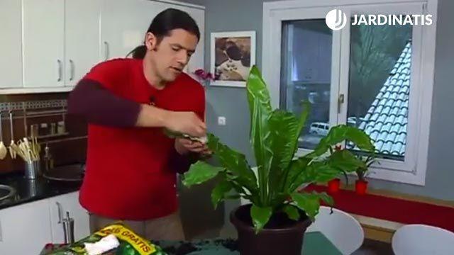cómo limpiar las hojas del helecho nido de ave