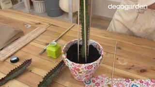 multiplicar la Euphorbia trigona