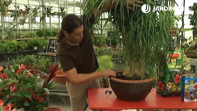 Cómo plantar una pata de elefante o beaucarnea