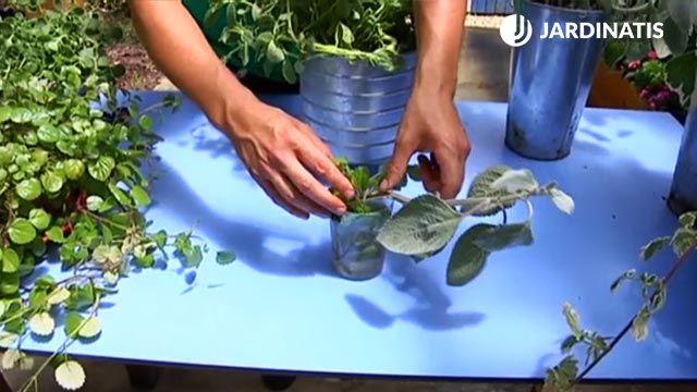 cómo reproducir el plectranthus