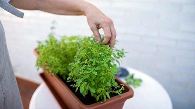 Cómo tener plantas aromáticas en casa