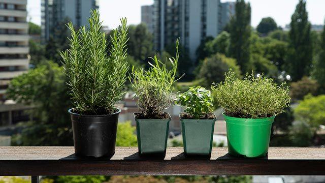 Cómo cultivar plantas aromáticas en casa