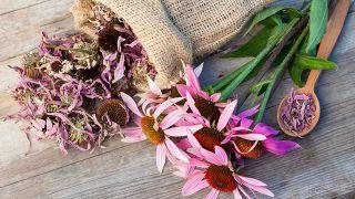 Flores secas y frescas de equinácea.
