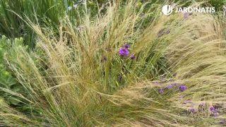Stipa tenuissuma y verbena rígida en el jardín