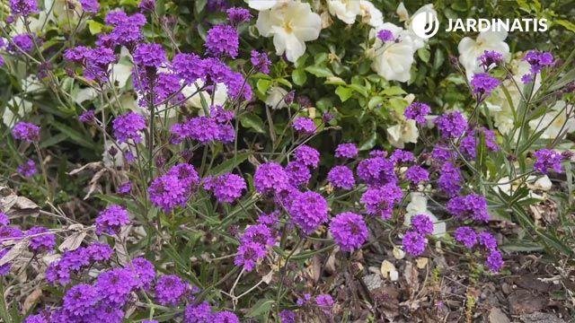 Verbena rígida en el jardín