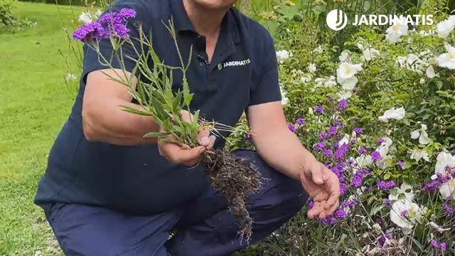 Reproducción por rizoma de la Verbena rigida