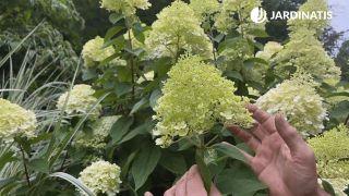 Flores de la hortensia de panículas