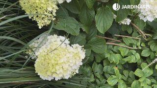 Flores de la Hydrangea paniculata Phantom