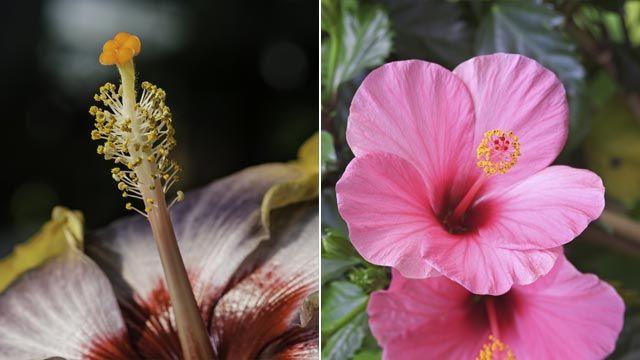 estambres del Hibiscus rosa-sinensis
