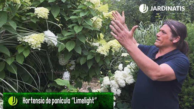 hortensia de panículas