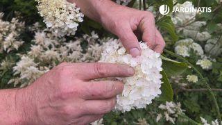 Tonalidad de la Hydrangea paniculata