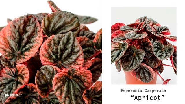 Peperomia Apricot