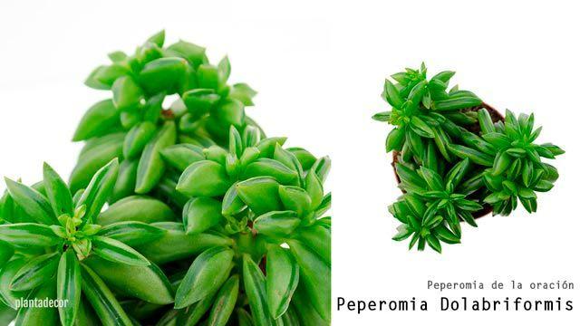 Peperomia Dolabriformis