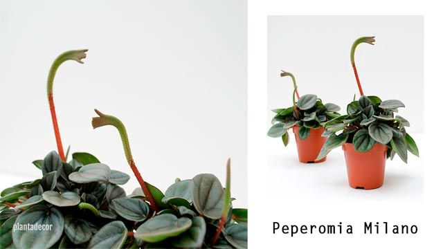 Peperomia milano