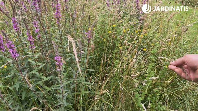 Gramíneas para promover la biodiversidad de la pradera