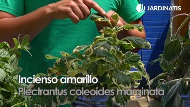 plectranthus coleoides marginata
