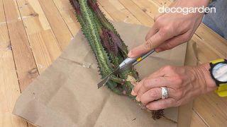 Revivir y multiplicar un cactus - Paso 1