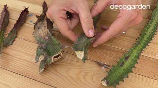 Revivir y multiplicar un cactus - Paso 2