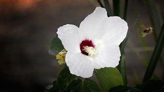10 plantas para cuidar la digestión - Malvavisco