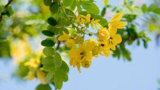 10 plantas para cuidar la digestión - Senna alexandrina