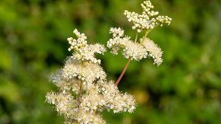 10 plantas para cuidar la digestión - Ulmaria