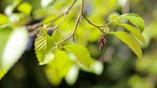 10 plantas para cuidar la digestión - Ulmus rubra