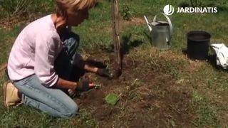 Acolchado para proteger ciruelo plantado en el jardín