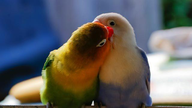 Una pareja de agapornis besándose
