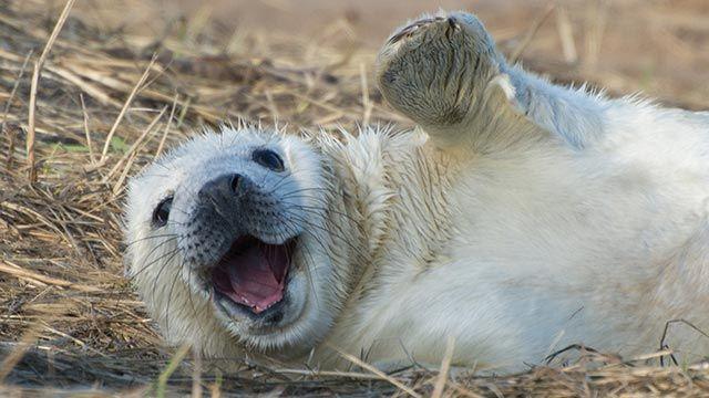 Cría de foca feliz