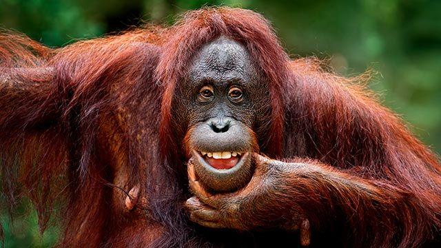 Orangután sacando su mejor sonrisa