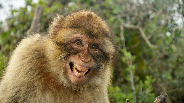 Macaco sacando su sonrisa