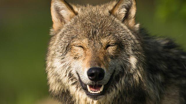 Lobo mostrando su sonrisa