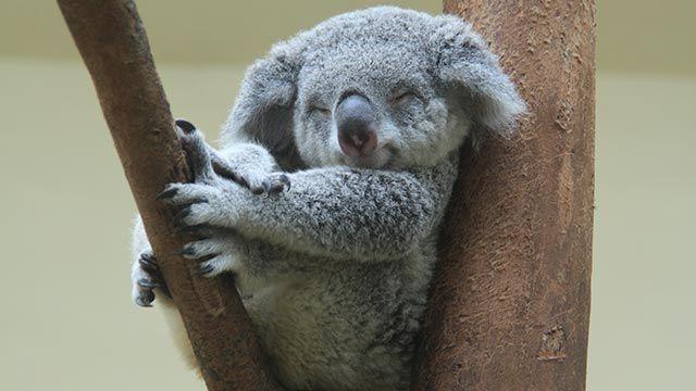 Koala acomodado y feliz