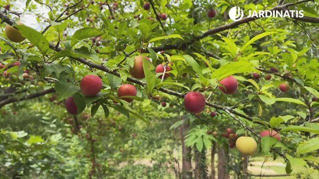 ¿Cuál es el árbol frutal más apropiado para el jardín?