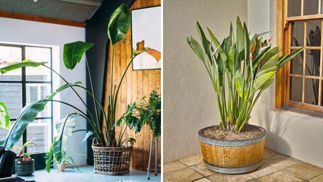 Ave del paraíso: características, cuidados y reproducción de esta planta
