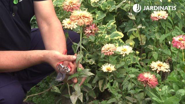 Cultivo de la zinnia o flor de papel en el jardín