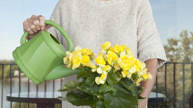 Cómo regar las begonias de forma correcta