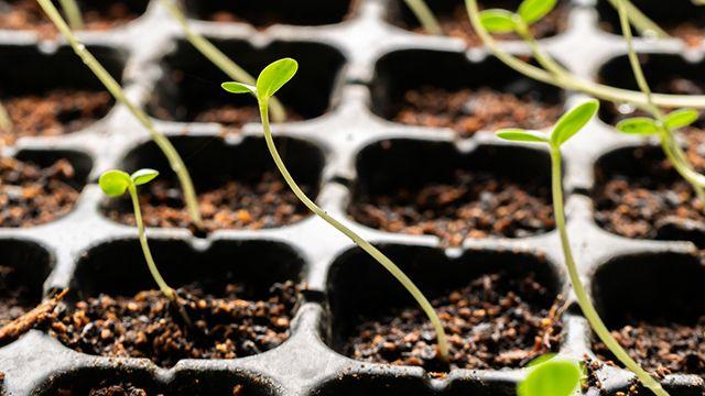 Cómo sembrar la zinnia