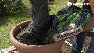 Cómo trasplantar una palmera en maceta