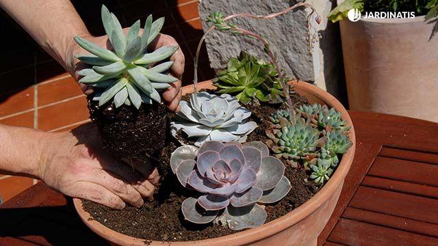 Composición con plantas crasas
