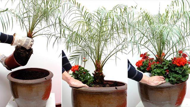 Composición con palmera de roebelen, geranios y petunias