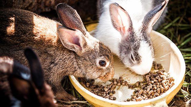 Conejos comiendo pienso