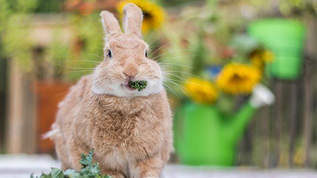 Conejo comiendo espinacas
