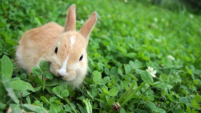 Conejo entre tréboles