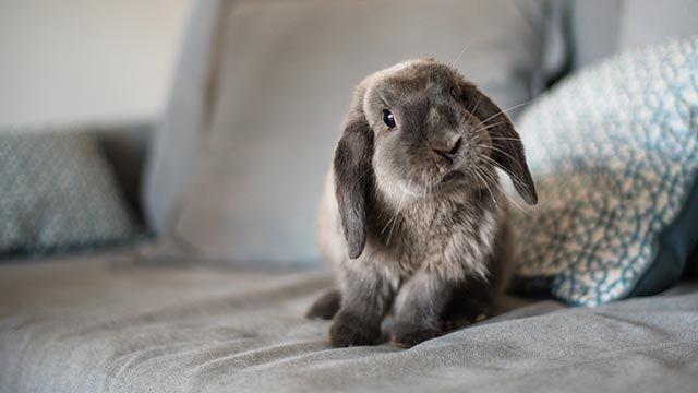Conejo sobre el sofá