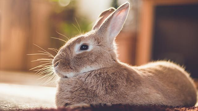 Conejo tumbado