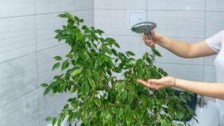 Limpiar las hojas de los ficus mediante una ducha