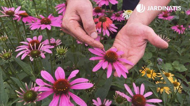 flor de la equinácea púrpura