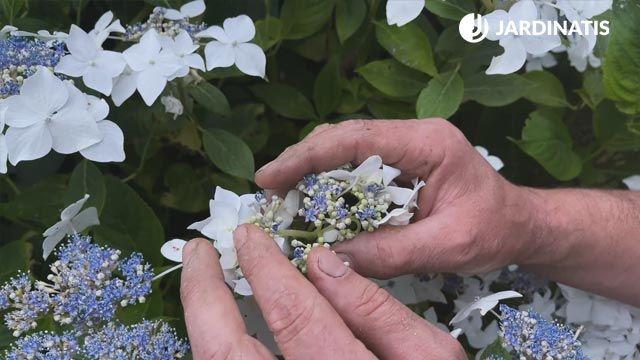 Hortensia lacecap